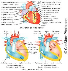 Heart.eps - Heart. Anatomy of the Heart. The Cardiac Cycle....