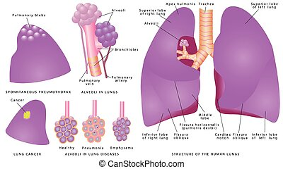 Structure of the human lungs - Human pulmonary system....