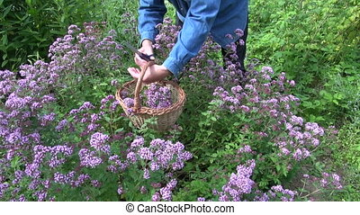 Herbalist picking oregano - Man herbalist gardener in blue...