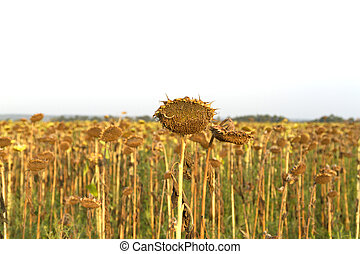 Lost crop of sunflowers - ried sunflowers during the long...