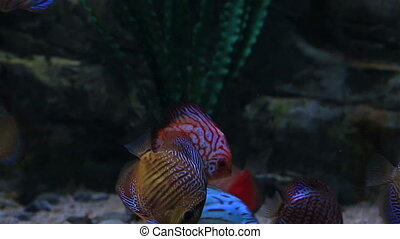 Symphysodon or discus, is a genus of cichlids native to Amazon river basin.