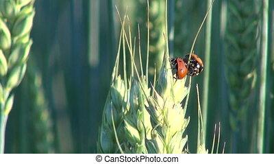 Three ladybugs on wheat ear