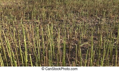Stubble stalks of harvested field - Stubble stalks of...