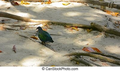 Colorful Nicobar Pigeon Struts in the Sand - Video 1920x1080...