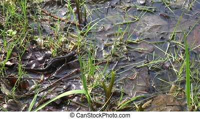 crested newt Triturus cristatus - Northern crested newt...