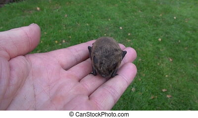 Pipistrellus nathusii bat in hands - Pipistrellus nathusii...