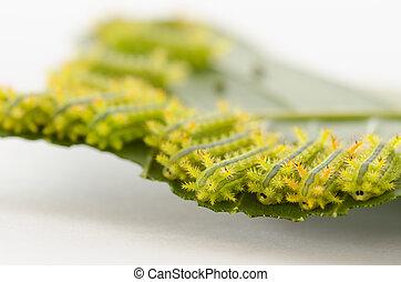 Row of caterpillar eating leaf.