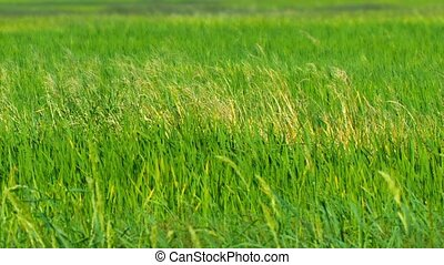 Agricultural Field Planted with Lowland Rice - Video FullHD...