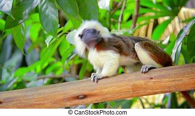 Adult Cotton Top Tamarin Monkey - Video 1080p - Adult Cotton...