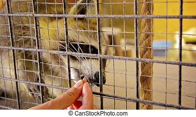 Cute Raccoon Eating Peanuts from a Person's Hand - Video...