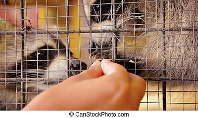 Hand Feeding Adorable Raccoons in a Cage - Video FullHD...