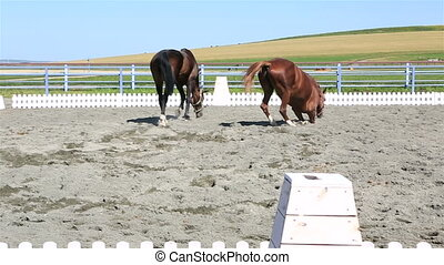 Trakehner breed lying in sand and Polish mongrel horse runs...