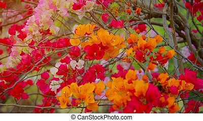 Three very healthy bougainvillea bushes in varying colors,...