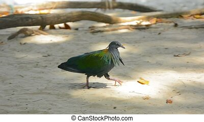 Nicobar Pigeon struts about in the sand, foraging for food -...