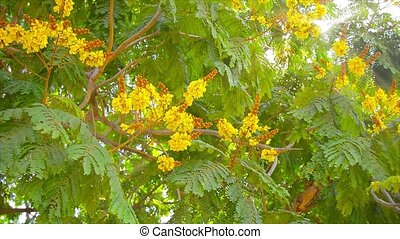 Yellow Flame Tree, with its beautiful, bold, yellow blooms,...