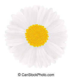 White Gerbera, flower illustration image