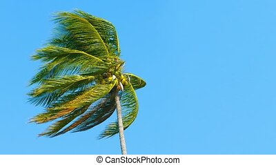 Tall, Solitary Coconut Palm Bending in a Strong Tropical...