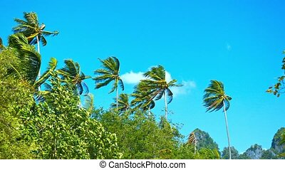 Tall Coconut Palms Bending in a Strong Tropical Wind -...