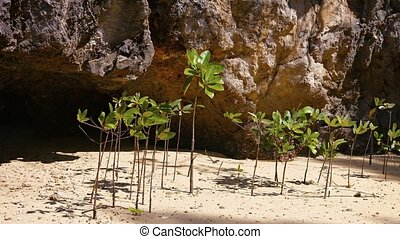Young Mangrove Shoots Swaying in a Gentle Sea Breeze - Video...