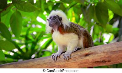 Little Cotton-top Tamarin Monkey, with his distinctive brown...