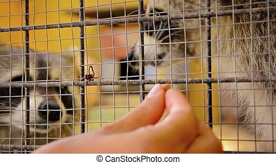 Very Cute Raccoons being Hand Fed in a Cage - Video FullHD...