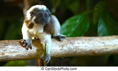 Cotton Top Tamarin Monkeys at the Zoo - Video 1080p -...