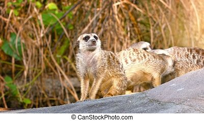 Colony of Meerkats Congregating on a Rock - FullHD video -...