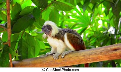 Cotton Top Tamarin Monkey at the zoo - Video 1080p - Cotton...