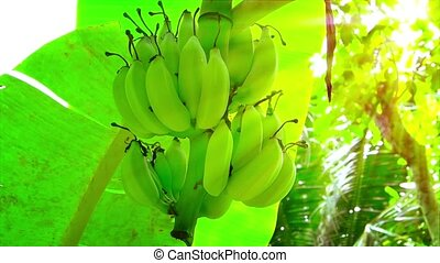 Bananas Hanging on a Wild Tree in the Sun - Rays of golden...