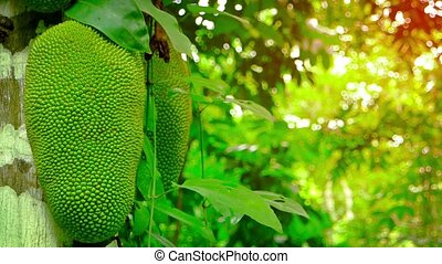 Young Wild Jackfruit on a Tree in the Jungle, with Sound -...