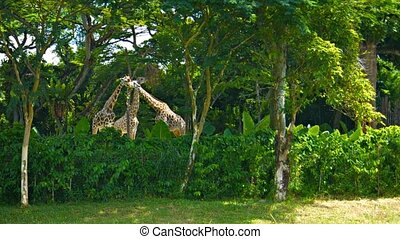 Giraffes Grazing on Tree Leaves at the Zoo - Three young...