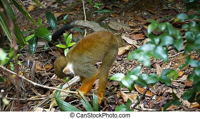 Cute Monkey Foraging for Food - Cute, brown monkey, with a...
