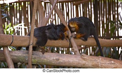 Pair of Monkeys at the Zoo - Playful monkey grooms his lazy...