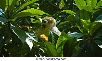 Cute Monkey Searches Tree Branches for Food - Cute, brown...