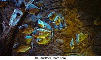 School of Piranhas in a Public Aquarium - School of...