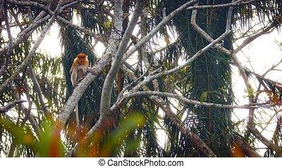 Wild Proboscis Monkey on a Tree Branch in Malaysia -...