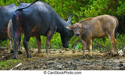 Group of Water Buffalo Watching from the River Bank - Two...