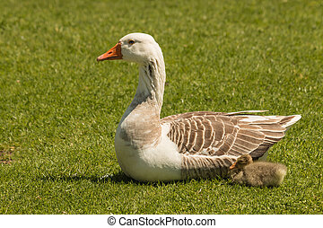 domestic goose with gosling resting on grass