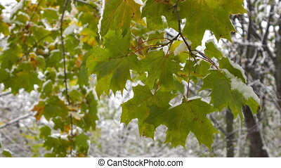 green leaves of maple covered with snow