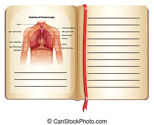 Anatomy of human lungs on page