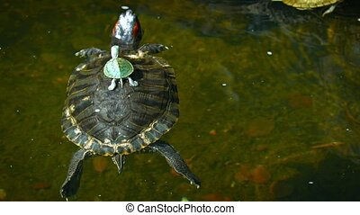 Baby Turtle Rides on its Mother's Back in a Pond