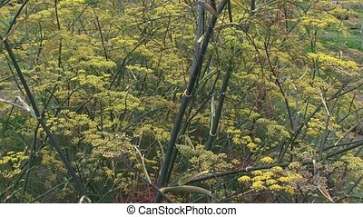 Fennel, Foeniculum vulgare, flowerheads - full screen