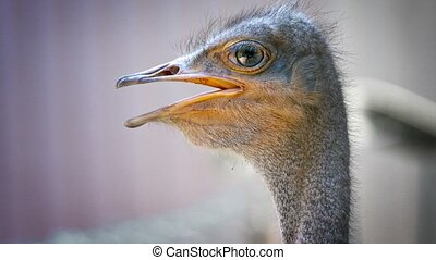 Closeup of an Ostrich's Head with its Mouth Agape