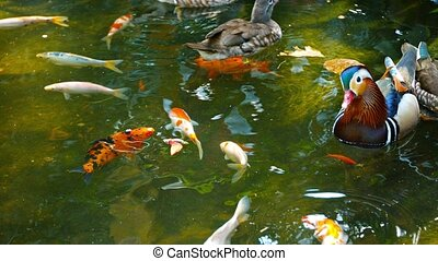 Mandarin Ducks and Koi in a Bird Park - Video 1080p - Small...