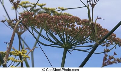 Fennel, Foeniculum vulgare, flowers and seed pods against...