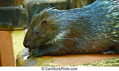 Malayan Porcupine, Munching on a Bread Treat at the Zoo -...