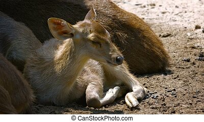 Young Fawn Lying and Resting alongside its Mother