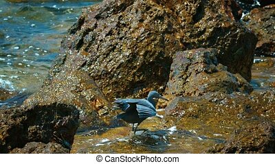 Pacific Reef Heron, Pacing over Rocks in Search of Lunch