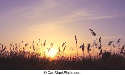 High reed against sunset sky in wind day
