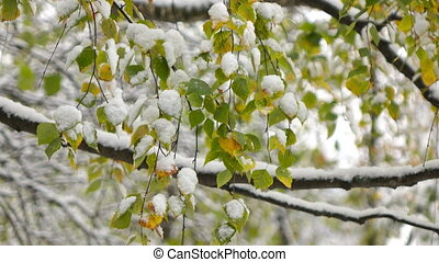 Green leaves of birch covered with snow